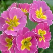 Souked Polyantha Victorian Laced Primula Primrose Mix Flower Pacific Giants