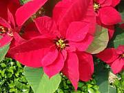 100 PC / bag, semillas Poinsettia, Euphorbia