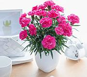 100 semillas de clavel Bonsai Dianthus