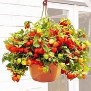 AGROBITS 100 PC/paquete Groundcherry árbol