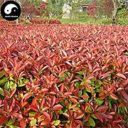ASTONISH SEEDS: Semillas Comprar Photinia
