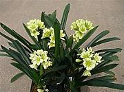 Fash Lady Cheap Clivia Seeds, Hermosa Planta en