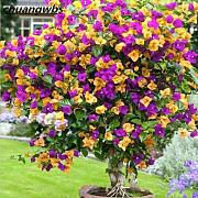 Go Garden 20 Mix Color Bougainvillea Maceta de