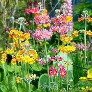Portal Cool Seeds Package: Primula Seeds -