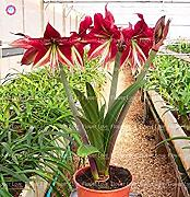 Potseed 1 Amaryllis Bulbos BulbsFlower,