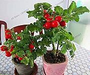 Potseed Paquete de 200 PC Varity Tomates Cereza