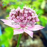 Semillas 30pcs Mayor Astrantia Flor Gran