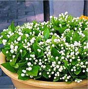 Semillas de 20pcs White Jasmine Bonsai Semillas de